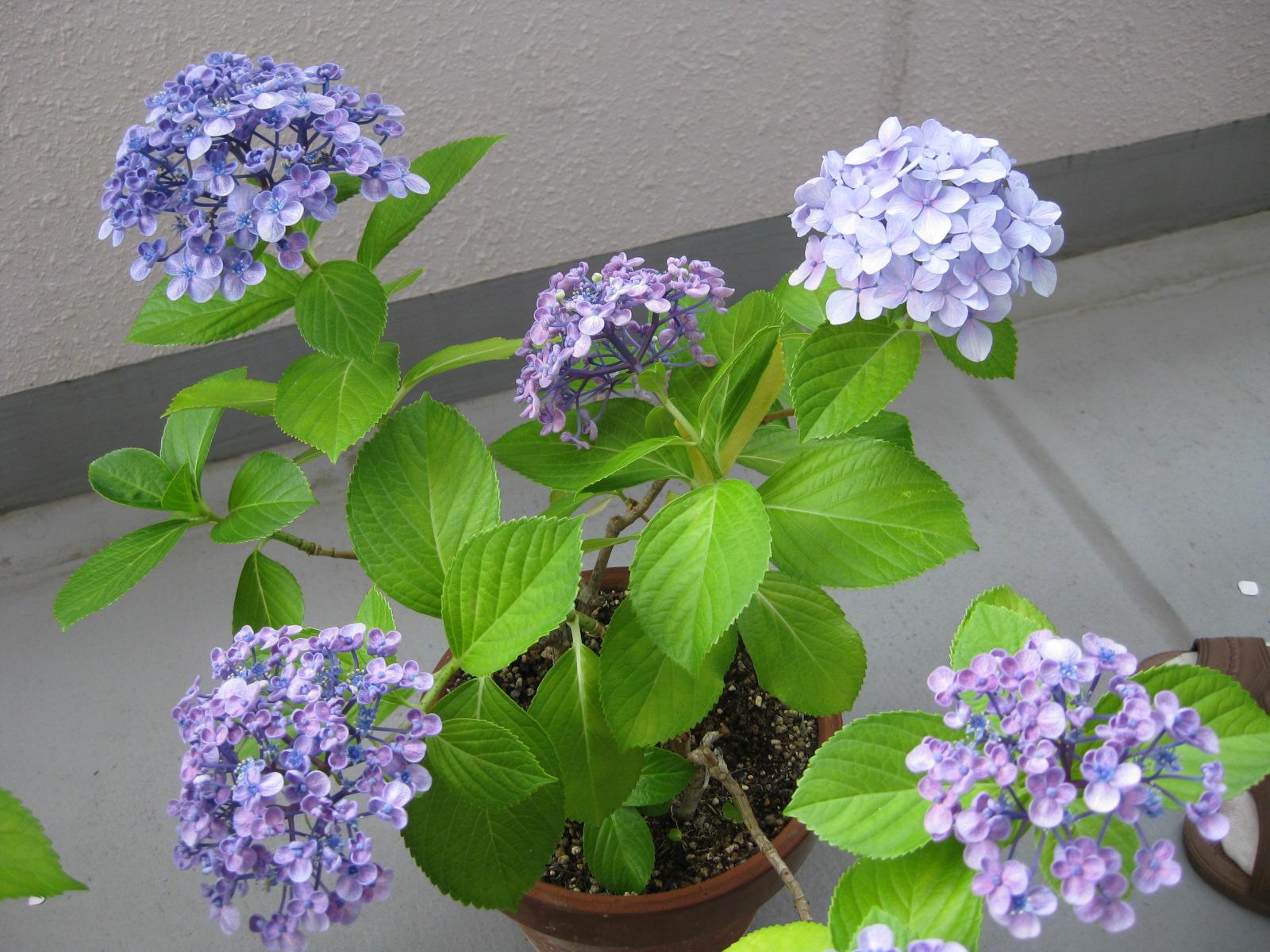 同じ茎から2種類の花が咲くアジサイ