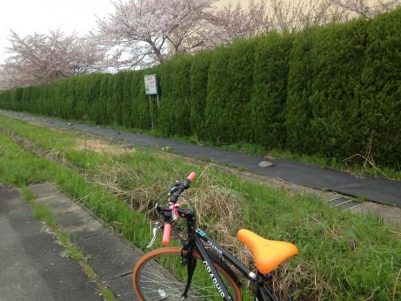稲沢市の隠れ花見スポット(5) 平和中学校の桜