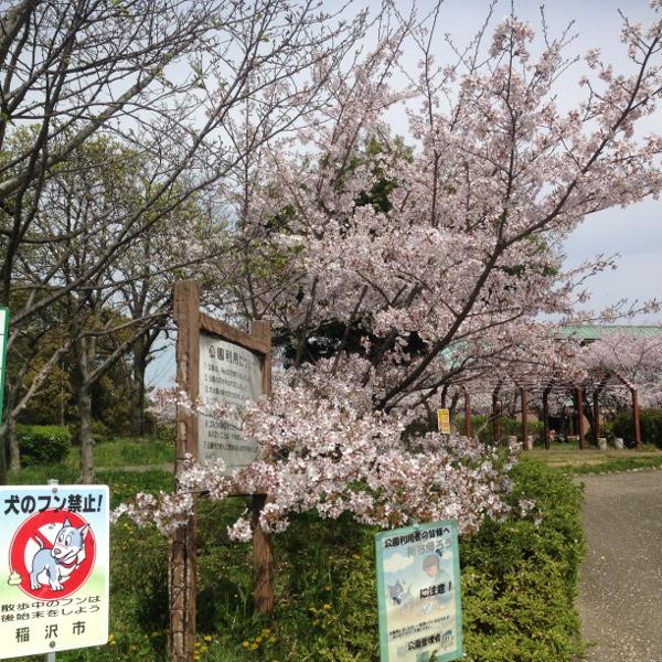 稲沢市の隠れ花見スポット(2) 稲沢公園の桜
