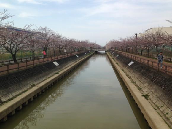 稲沢市平和町 桜ネックレスの開花状況