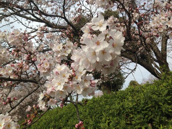 稲沢市平和町 桜の開花状況