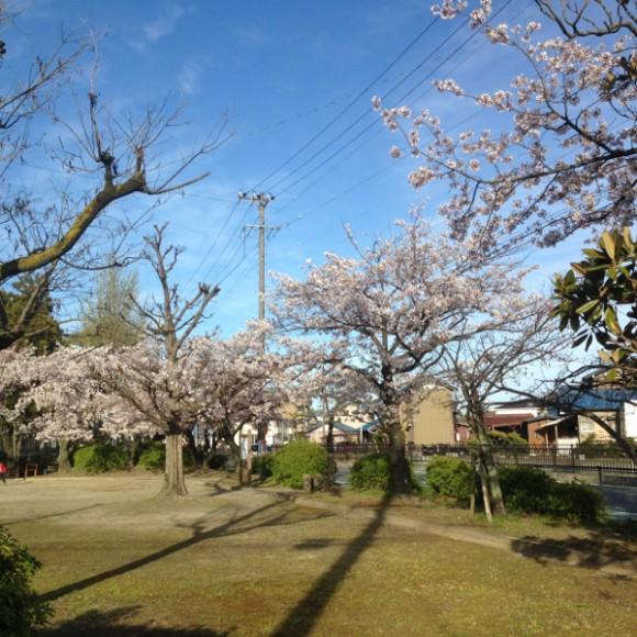 国府宮駅から徒歩5分の高御堂公園の桜