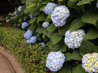 第26回 稲沢あじさいまつり会場でアジサイの咲き具合をチェックしてきました。