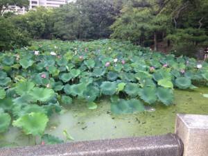 鶴舞公園のハスの花