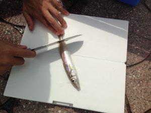 南知多の小佐漁港から和船でベラが釣れました