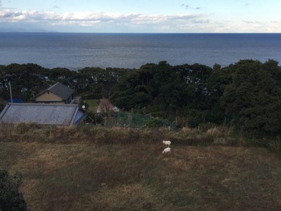 高知県土佐清水市足摺岬のペンション サライのヤギ可愛い